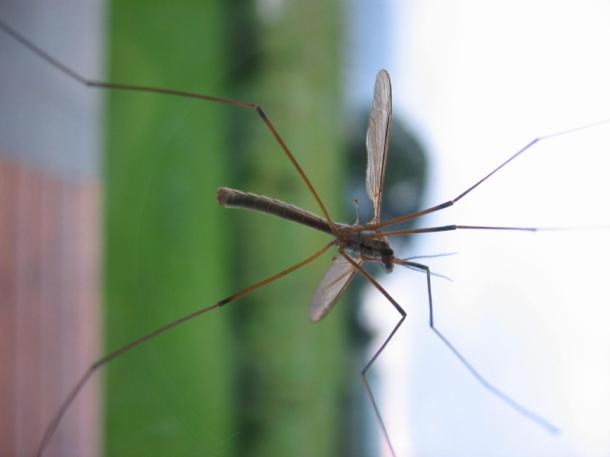 O mosquito da dengue é o transmissor da doença. (Fotografia: morguefile.com, por Ariadna)