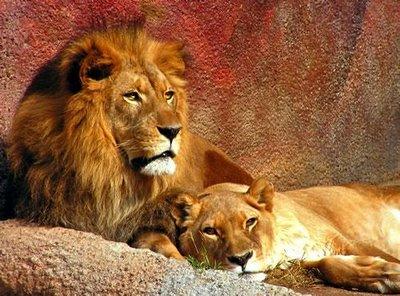 Leões Africanos(Fonte: http://orgulhoanimal.blogspot.pt/2009/03/leoes-africanos.html)