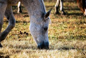 ASAE encontra carne de cavalo noH3