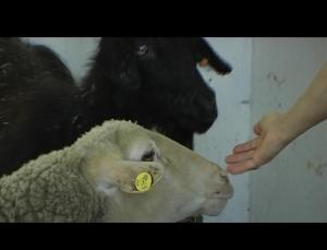 ovelha e cabra