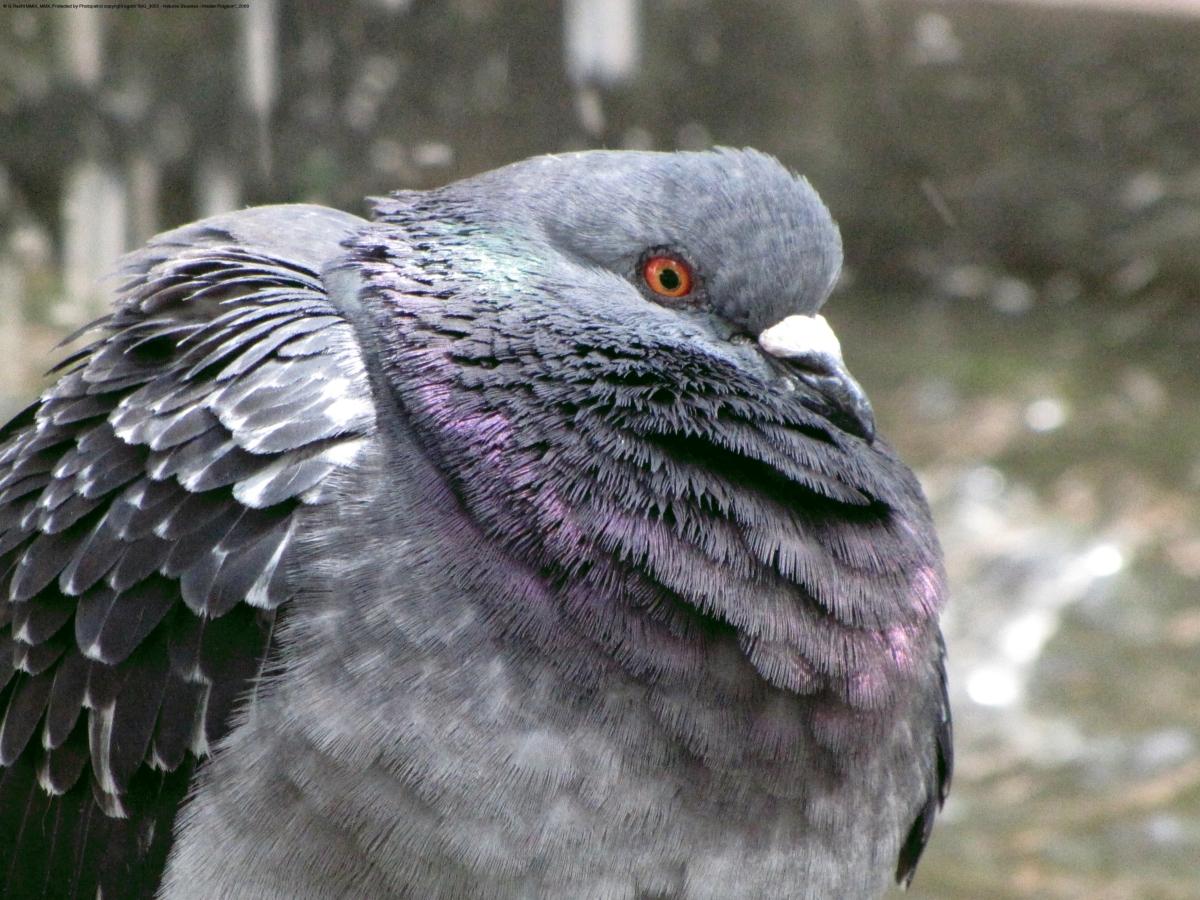 O pombo de Lisboa